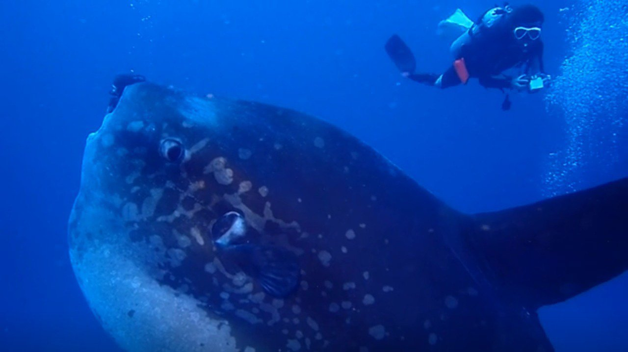 一群資深潛水客在峇里島水晶灣碰巧經過一條巨大翻車魚正上方,從當場拍攝的影像可看到...