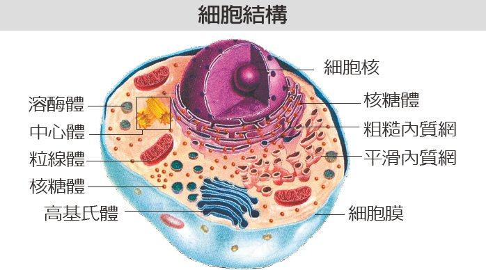 將細胞比擬為城市,細胞膜如城牆,阻擋外敵侵襲;粒線體如發電廠,提供能量來源;高基...