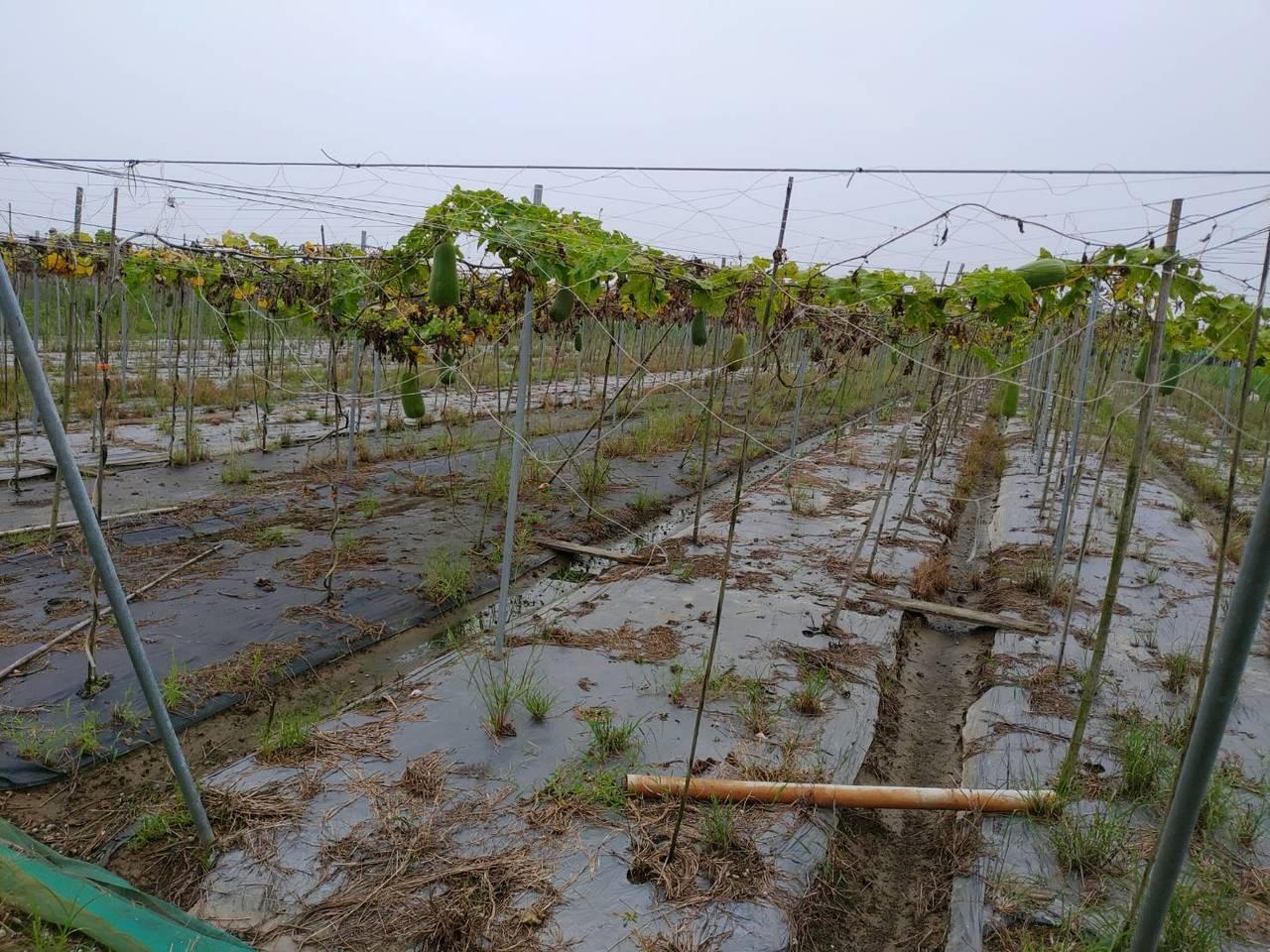 台南東山絲瓜傳因豪雨受粉不佳,農民盼列入現金救助。圖/台南市農業局提供