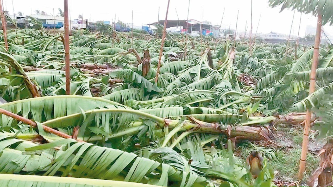 台東市郊一處香蕉園不敵白鹿強風,瞬間倒成一片。 記者羅紹平/攝影