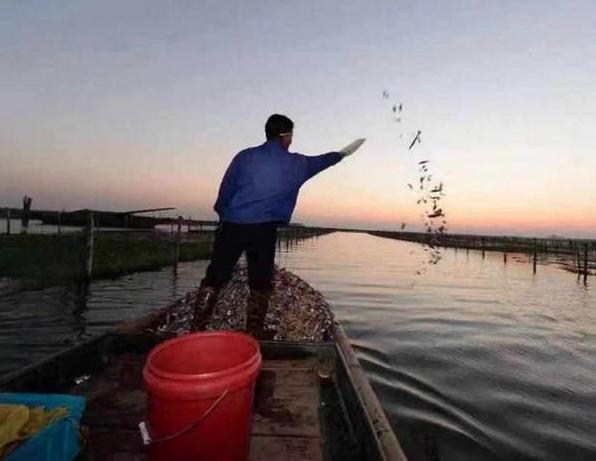 整個陽澄湖15000畝水面一年總產才不到2000萬隻蟹,隻隻都要精心飼養成熟才能...