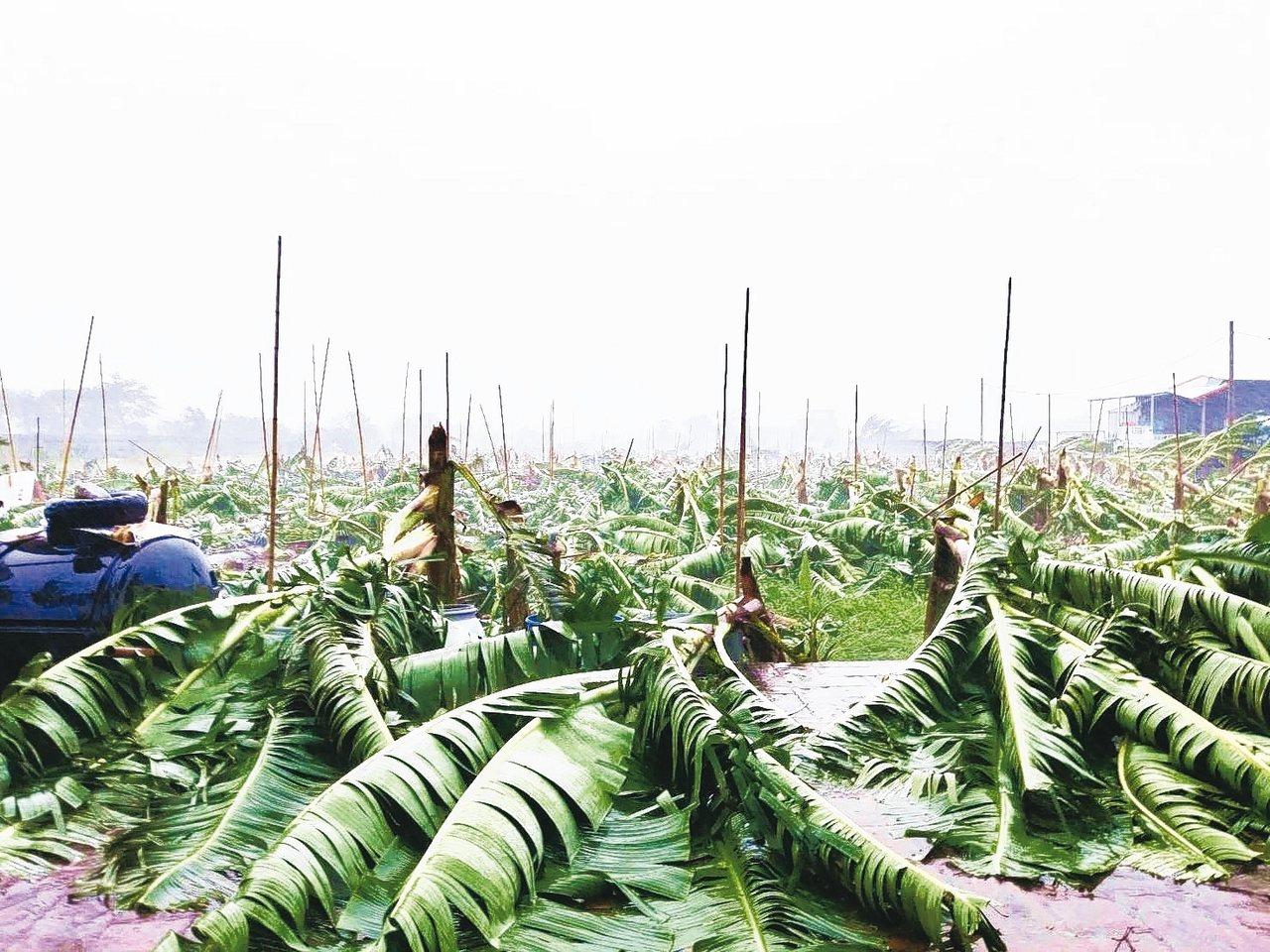 白鹿颱風造成台東香蕉倒伏及葉面破損計66公頃。 記者羅紹平/攝影