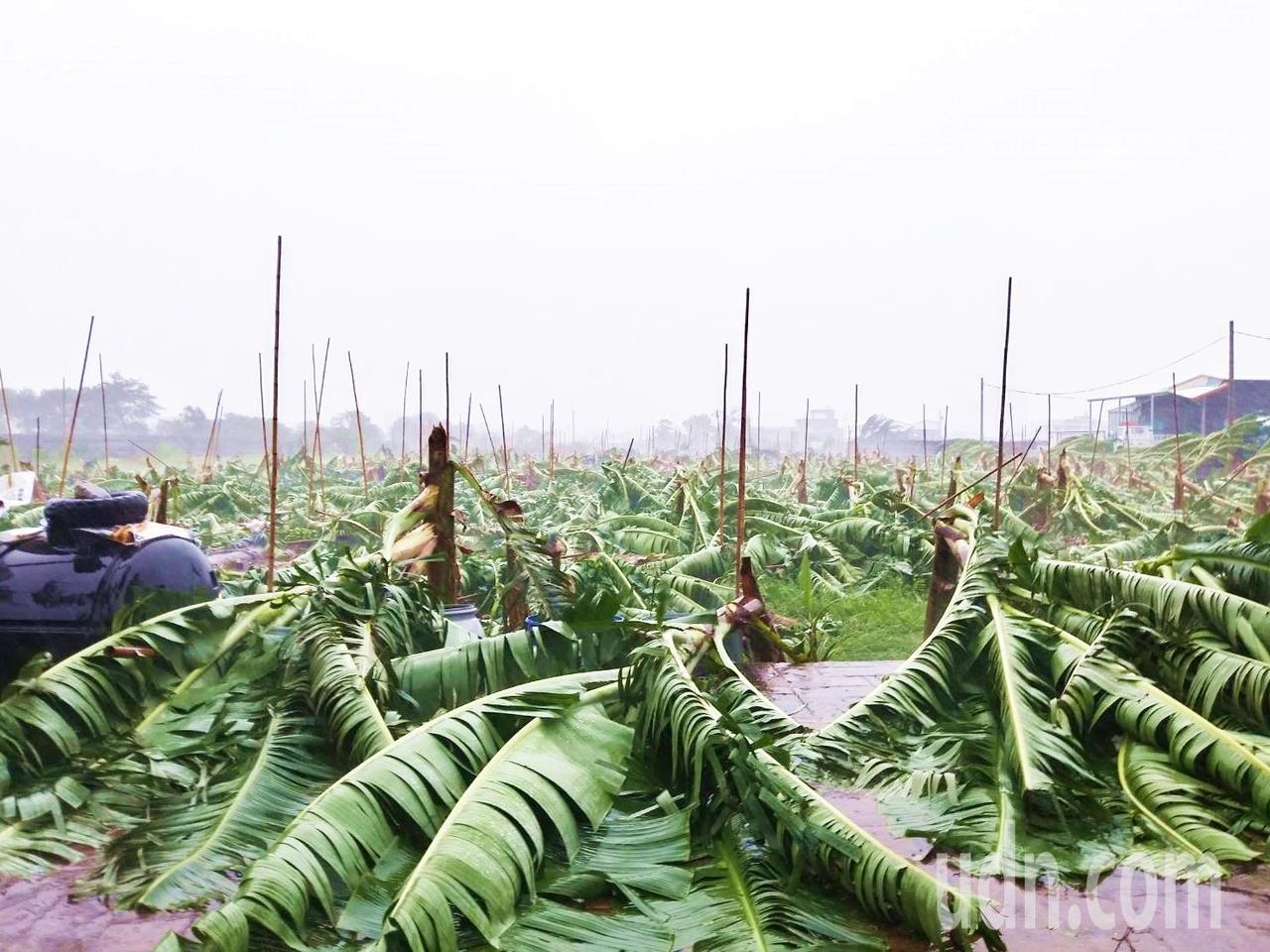 白鹿颱風造成台東香蕉倒伏及葉面破損計66公頃。記者羅紹平/攝影
