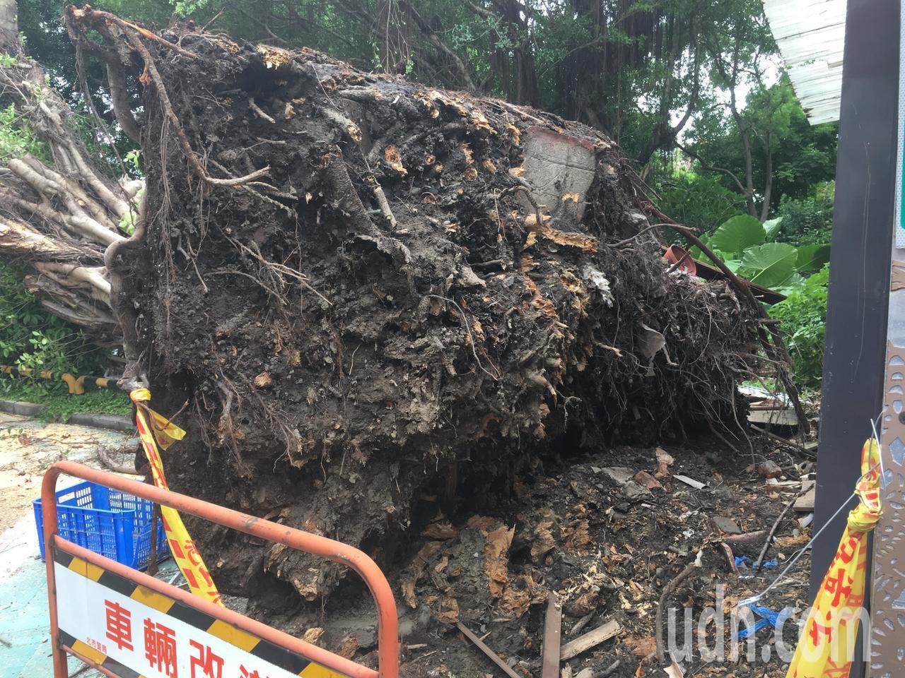輕度颱風「白鹿」快閃台灣,北台灣昨天出現間歇風雨,傳出台北市一處停車場老樹倒塌,...