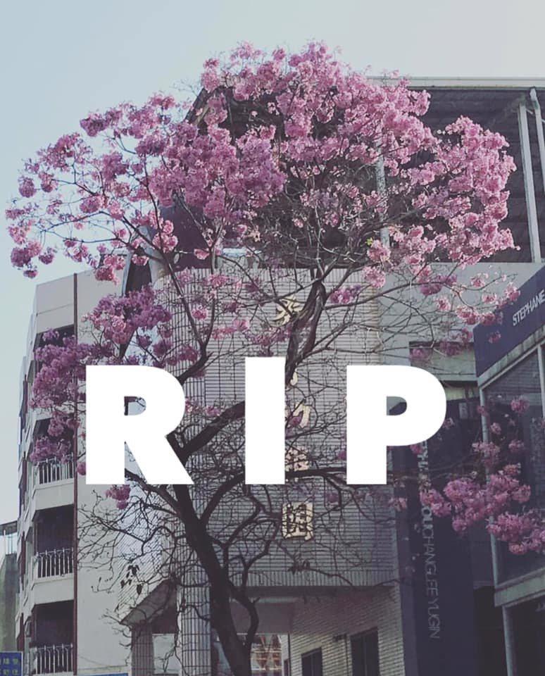 台南樹林街上絕美的洋花風鈴木被白鹿颱風吹倒。圖/取自台南謝宅臉書