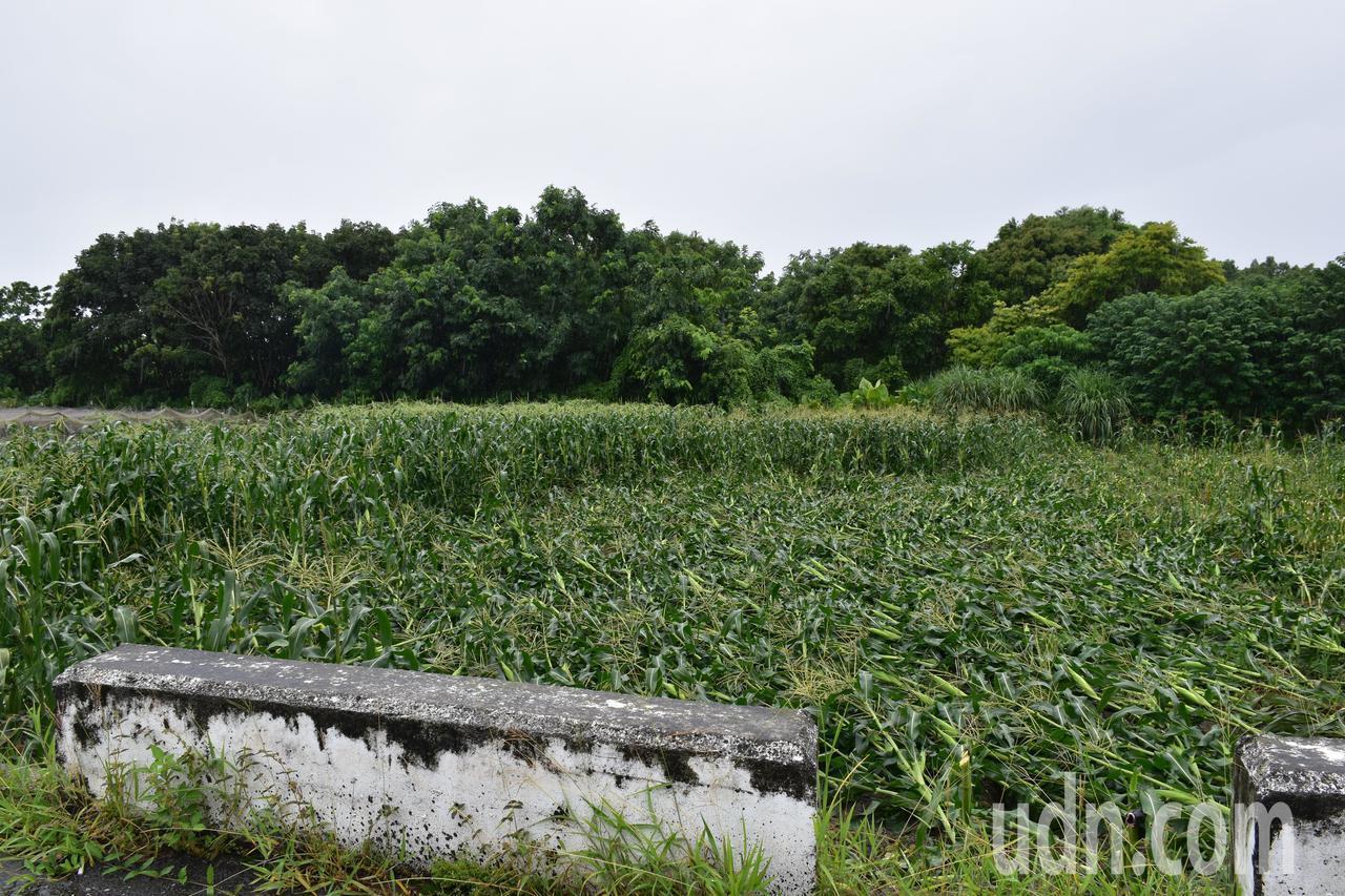 花蓮吉安鄉玉米田因為白鹿颱風,有倒塌情形。記者王思慧/攝影