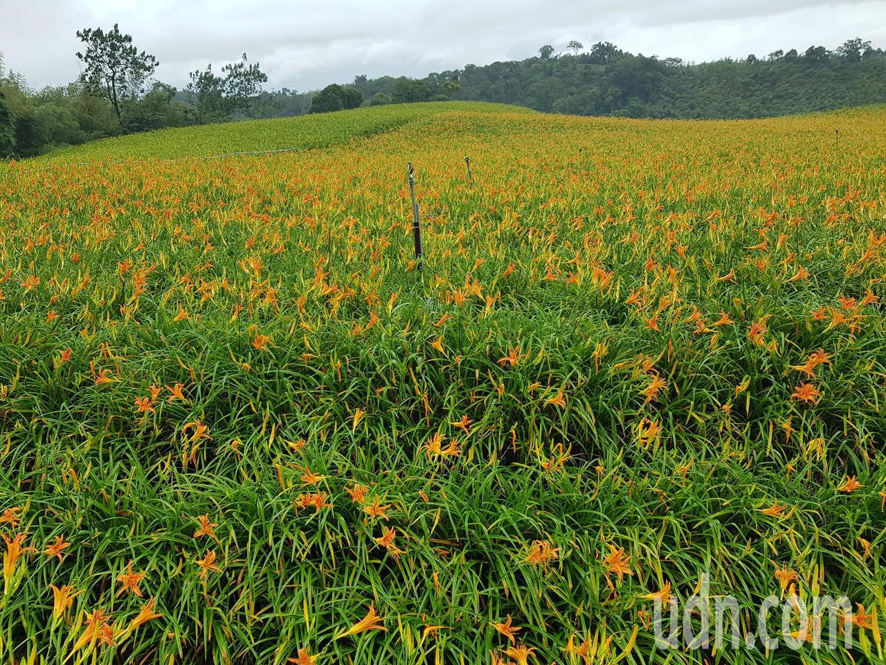 赤科山金針花幾乎沒掉落,甚至在雨水補充後20天內花況都會很好。圖/赤科山農村社區...