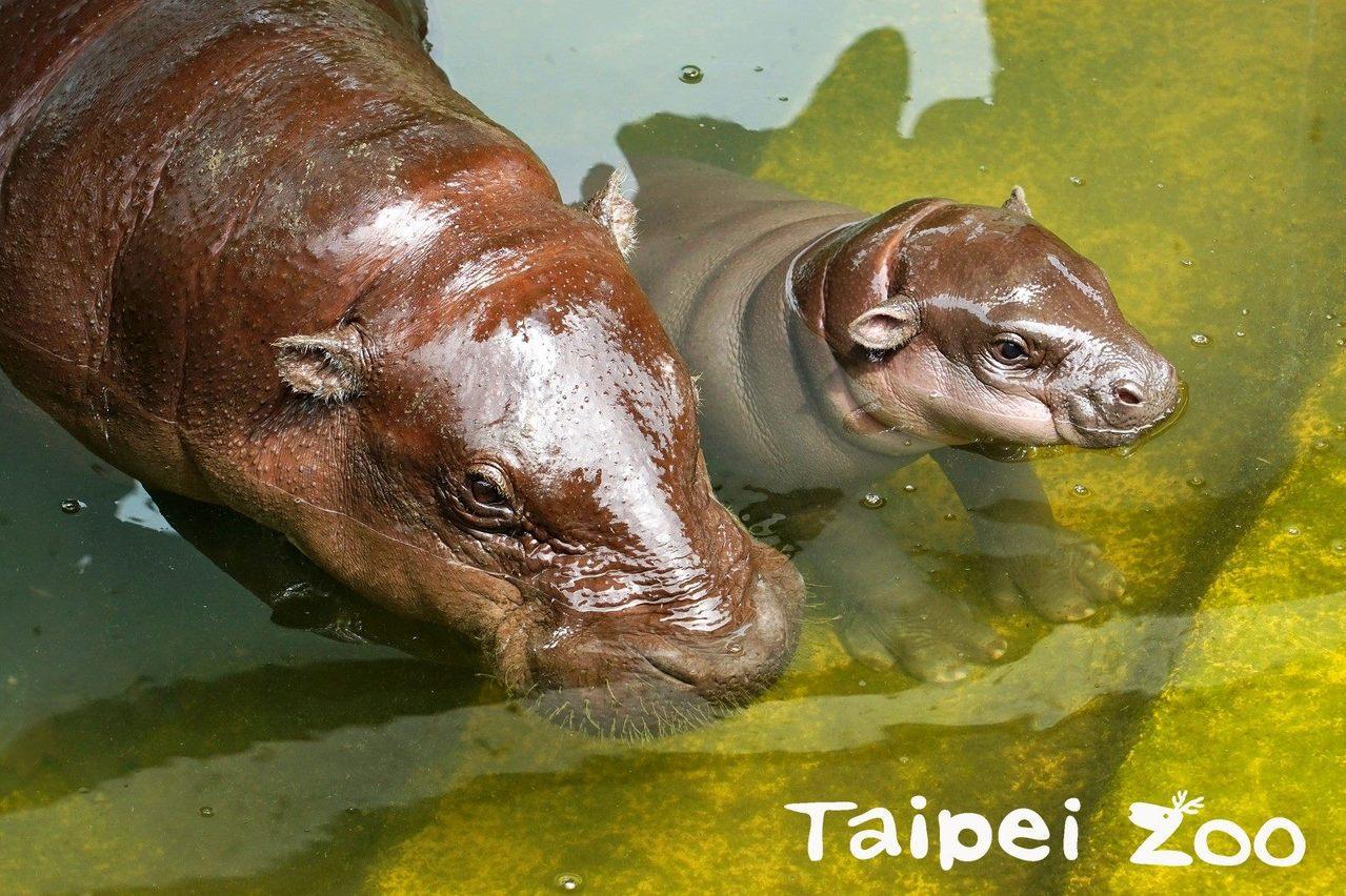 台北市立動物園、高雄市壽山動物園近期各迎來2隻侏儒河馬寶寶,今年8月先後雙滿月。...