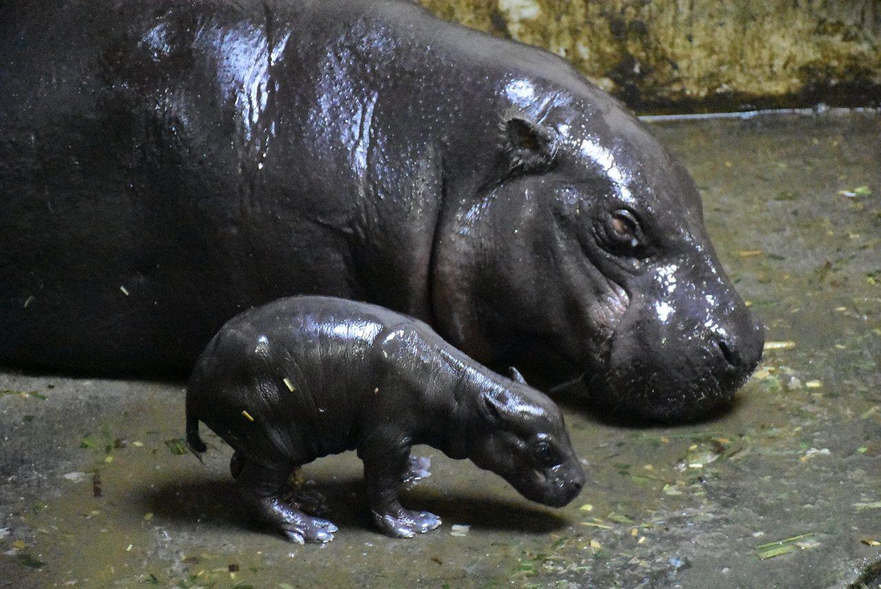 小侏儒河馬依偎在媽媽身旁。圖/壽山動物園提供