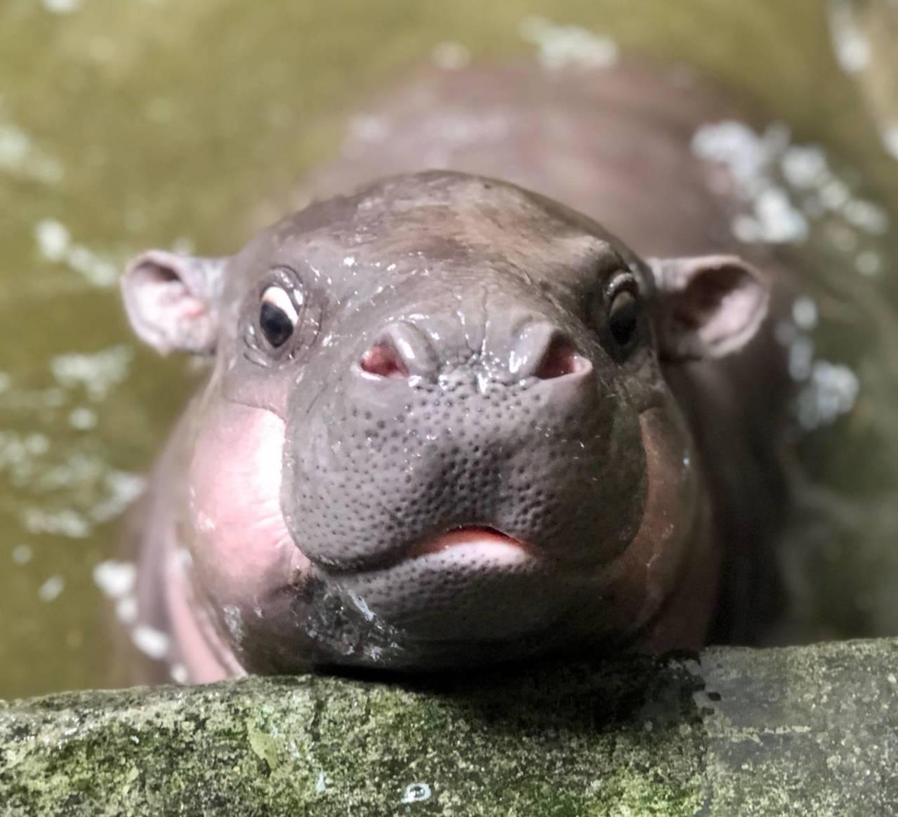 小侏儒河馬模樣可愛。圖/壽山動物園提供