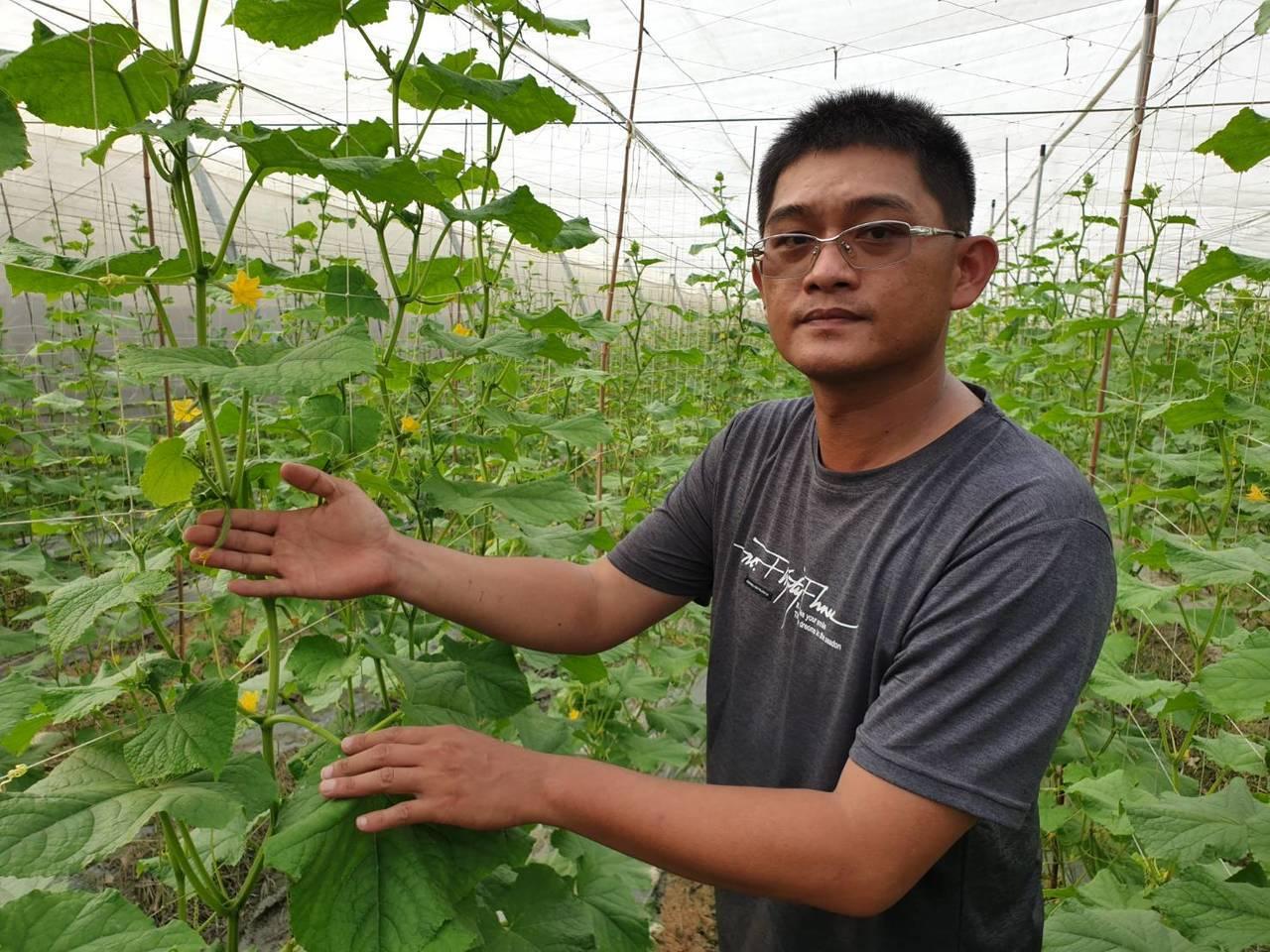 軍官退伍的吳志賢以管理部隊的方式管理瓜田,讓他的小黃瓜一年四季皆能收成。記者翁禎...