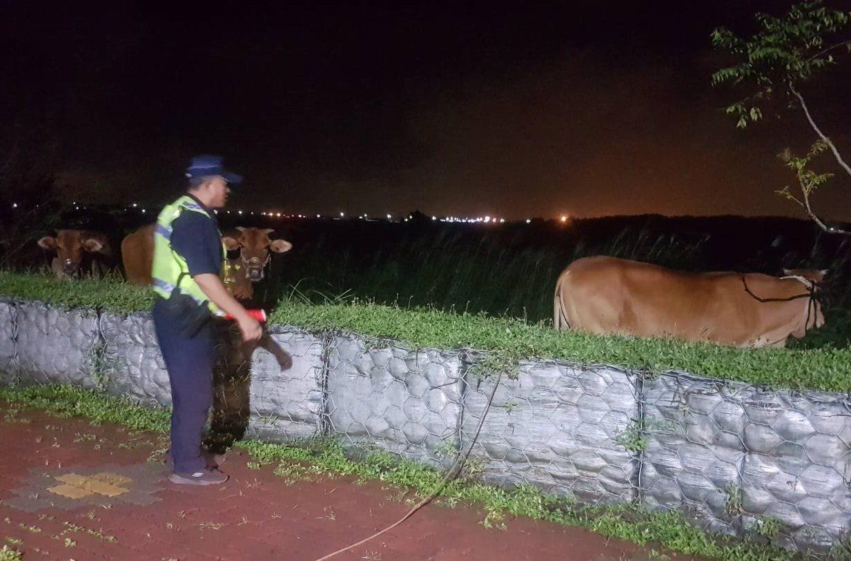 屏東縣萬巒鄉泗溝大橋日前夜間出現一群不速之客,竟是牛群逛大橋,報好警方及時驅離對...