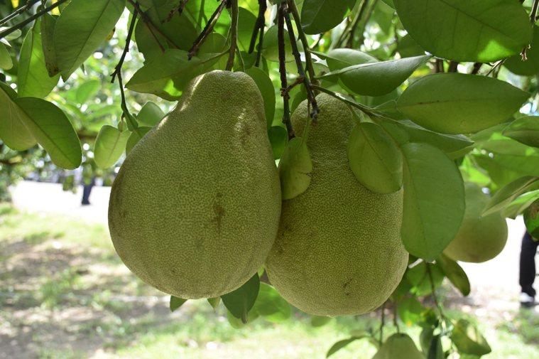 文旦柚。記者王思慧/攝影