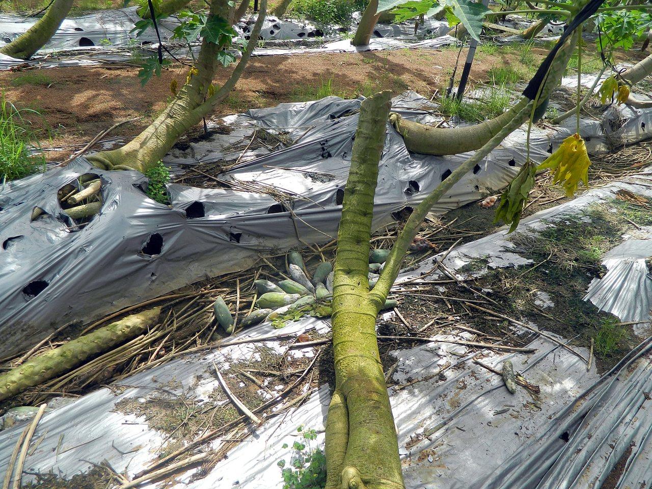 812豪雨造成嘉義市木瓜有植株受損、水傷和落果等狀況。圖/嘉義市府提供