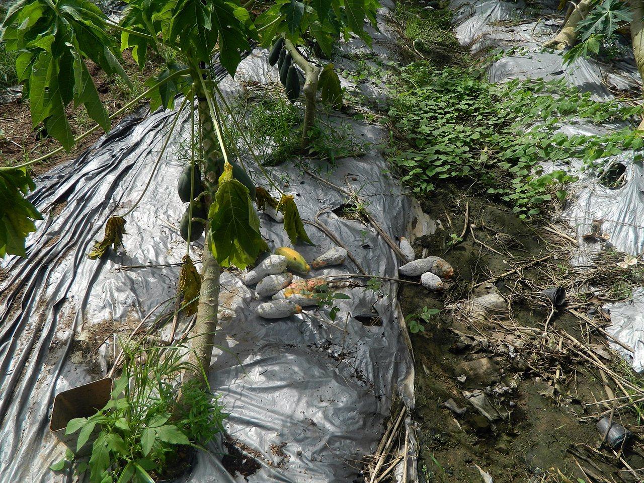 812豪雨造成嘉市木瓜受損9成 可申請現金救助