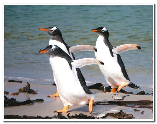 南極大陸欣賞各種企鵝可愛模樣。 圖/格林旅遊提供