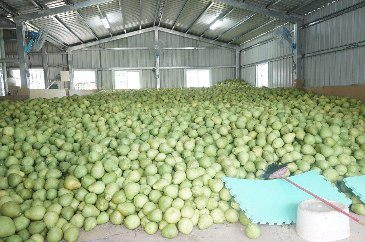 花蓮瑞穗鄉鶴岡地區是全台最大文旦柚單一產區,正值採收期。記者王燕華/攝影
