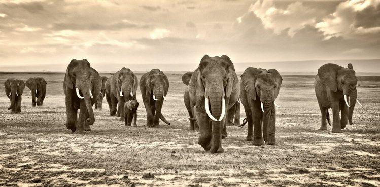 香緹卡邀請自然攝影大師,拍下非洲的大象。圖/香緹卡提供