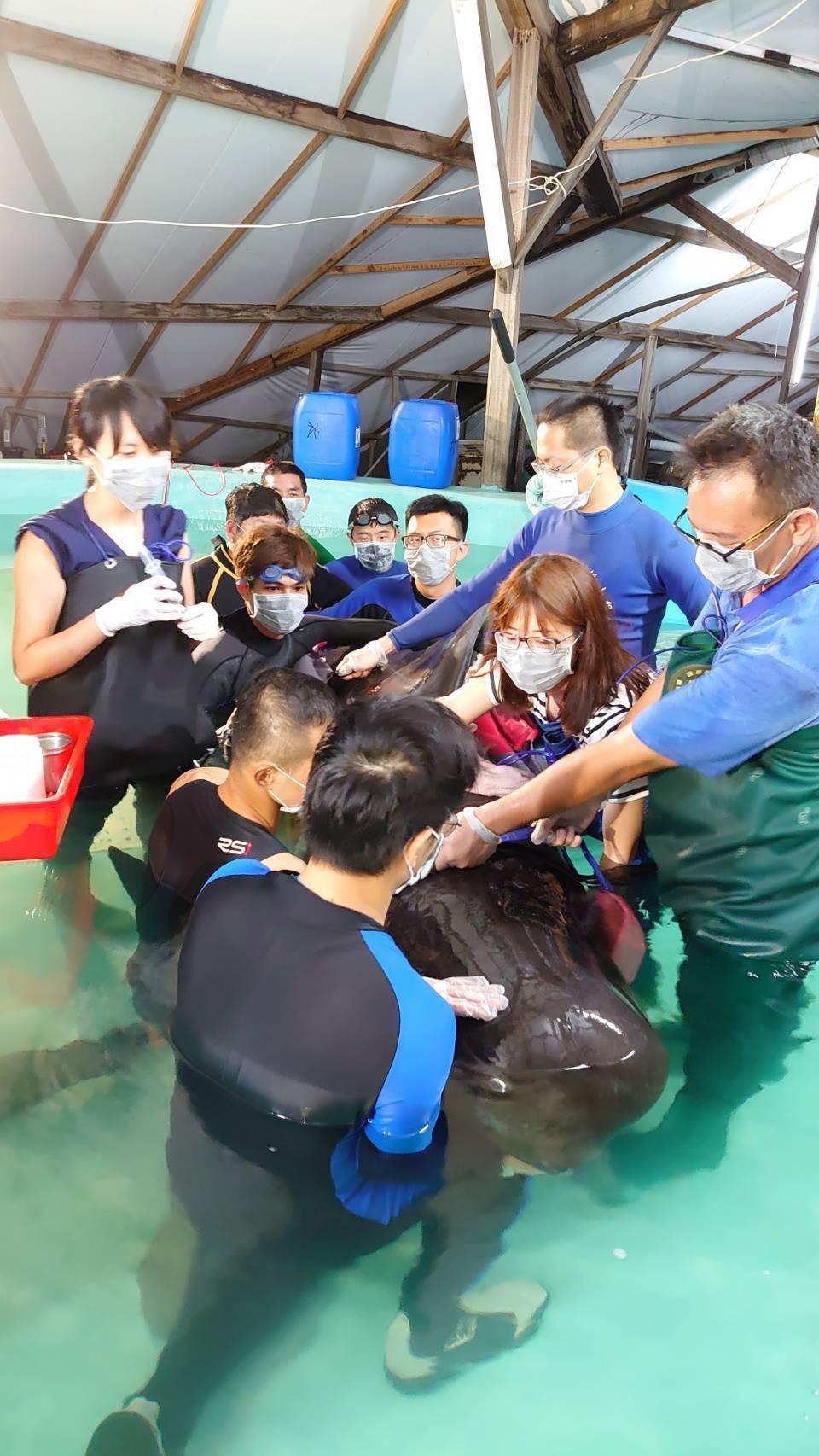 今年6月間在台南安平商港外擱淺的領航鯨被送往成大鯨豚中心。圖/成大提供