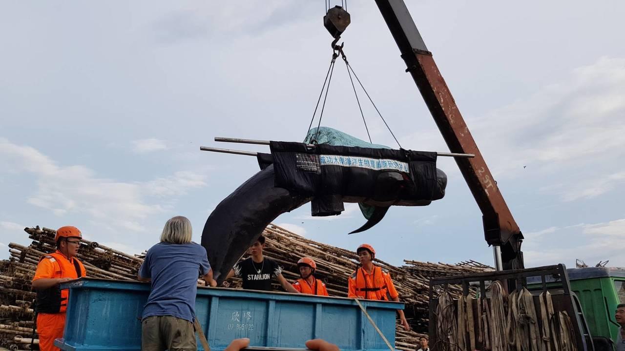 今年6月間在台南安平商港外擱淺的領航鯨被吊掛上車,送往成大鯨豚中心。圖/成大提供
