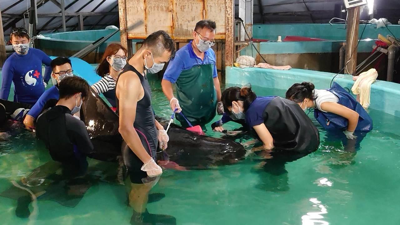 今年6月間在台南安平商港外擱淺的領航鯨被送往成大鯨豚中心,救援人員嚐試餵食透抽。...