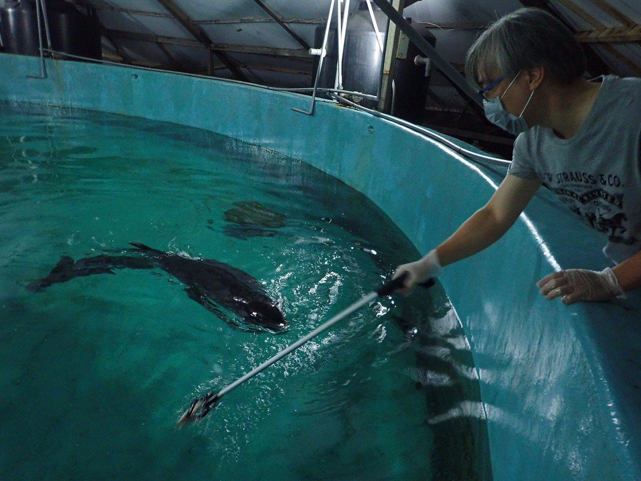 今年4月間6隻小虎鯨集體擱淺在旗津海岸,5隻送送往成大鯨豚中心,救援人員嘗試從岸...