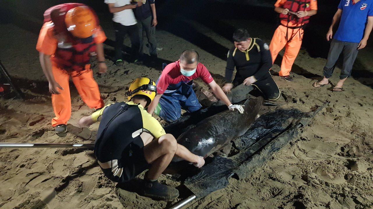 今年6月間一隻小抹香鯨擱淺在屏東佳樂水海岸,成大鯨豚中心與海巡隊人員,在大雨中救...