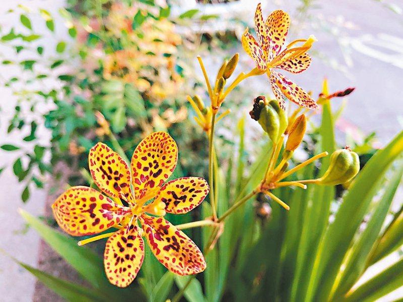 「射干」擁有如豹紋斑點的花朵,又因為形似蝴蝶,所以又有紅蝴蝶花、蝴蝶蘭之稱。 圖/台北市工務局提供