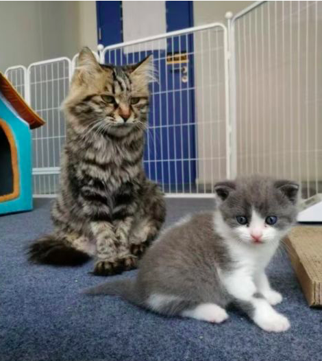 左為代孕母貓;右是複製貓大蒜。大蒜飼主花了25萬人民幣,成功複製因病死亡的寵物貓...