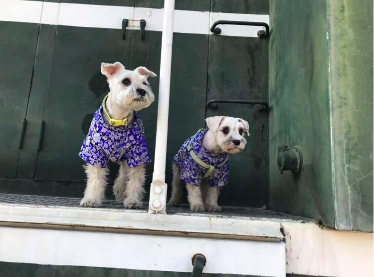 右為希諾谷的複製狗,左是截取樣本的來源狗。希谷諾宣稱,相似百分之八、九十是能做到...