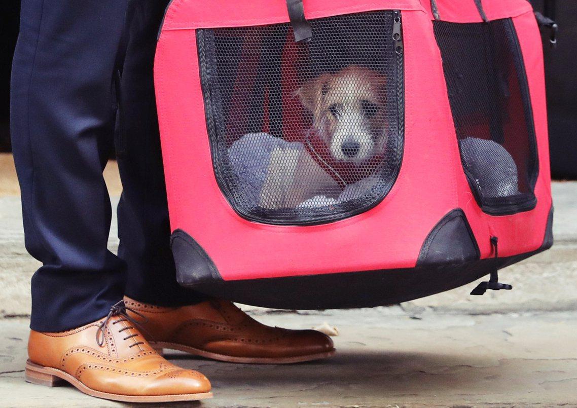 現任首相鮑里斯.強森(Boris Johnson)領養了一隻「狗」進駐官邸。這隻...
