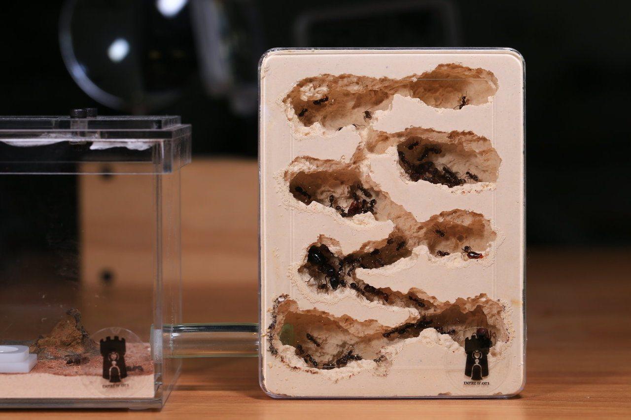 螞蟻生態觀察箱猶如蟻巢的橫切面,可清楚看見蟻群分工情形及蟻窩的完整結構。圖/帝國...