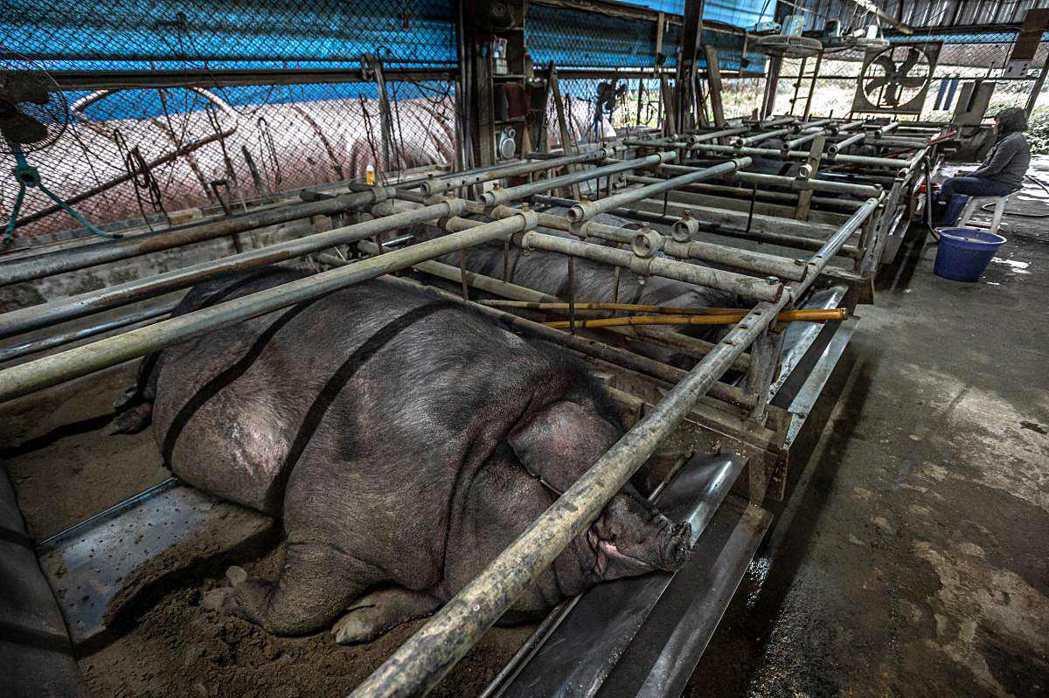 飼養「神豬」過程中採下窟方式,讓豬隻無法起身。 圖/臺灣動物社會研究會