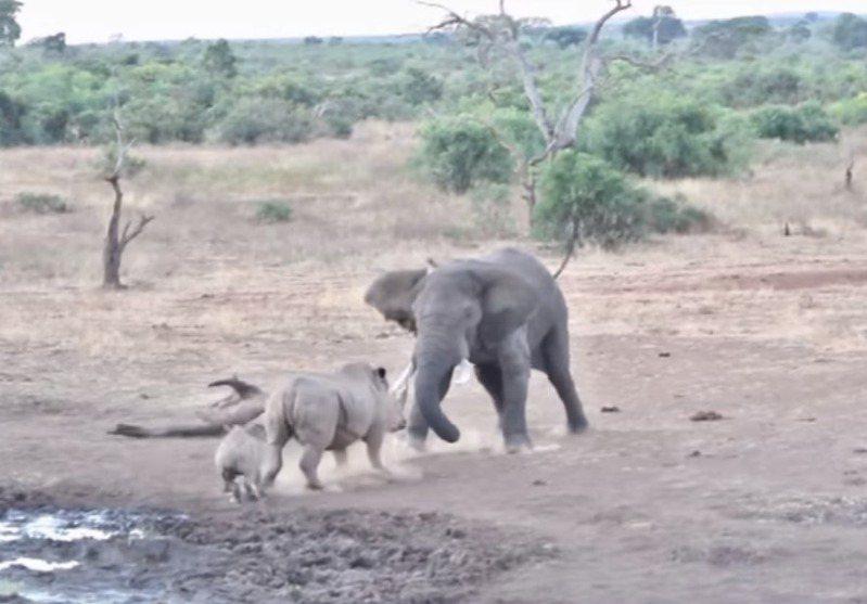 大象與犀牛分別是陸地上體型最大跟第二大的動物。憑著龐大的身軀,牠們在非洲草原上幾乎沒有天敵。一名遊客則目擊到這兩種動物,在南非草原狹路相逢,發生扭打的罕見場面。圖/擷自YouTube/Kruger Sightings