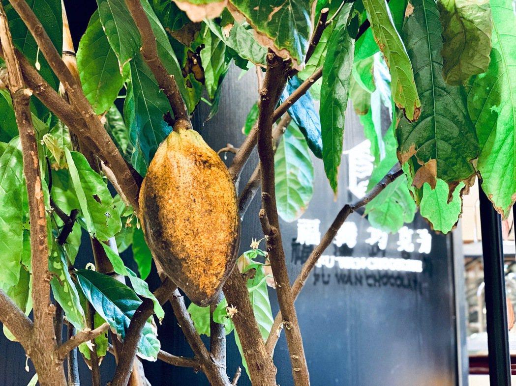 福灣巧克力台北101直營店看得到「真的」可可樹。記者張芳瑜/攝影