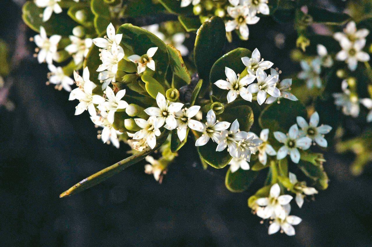 欖李是紅樹林裡的重要蜜源植物。 攝影/董景生