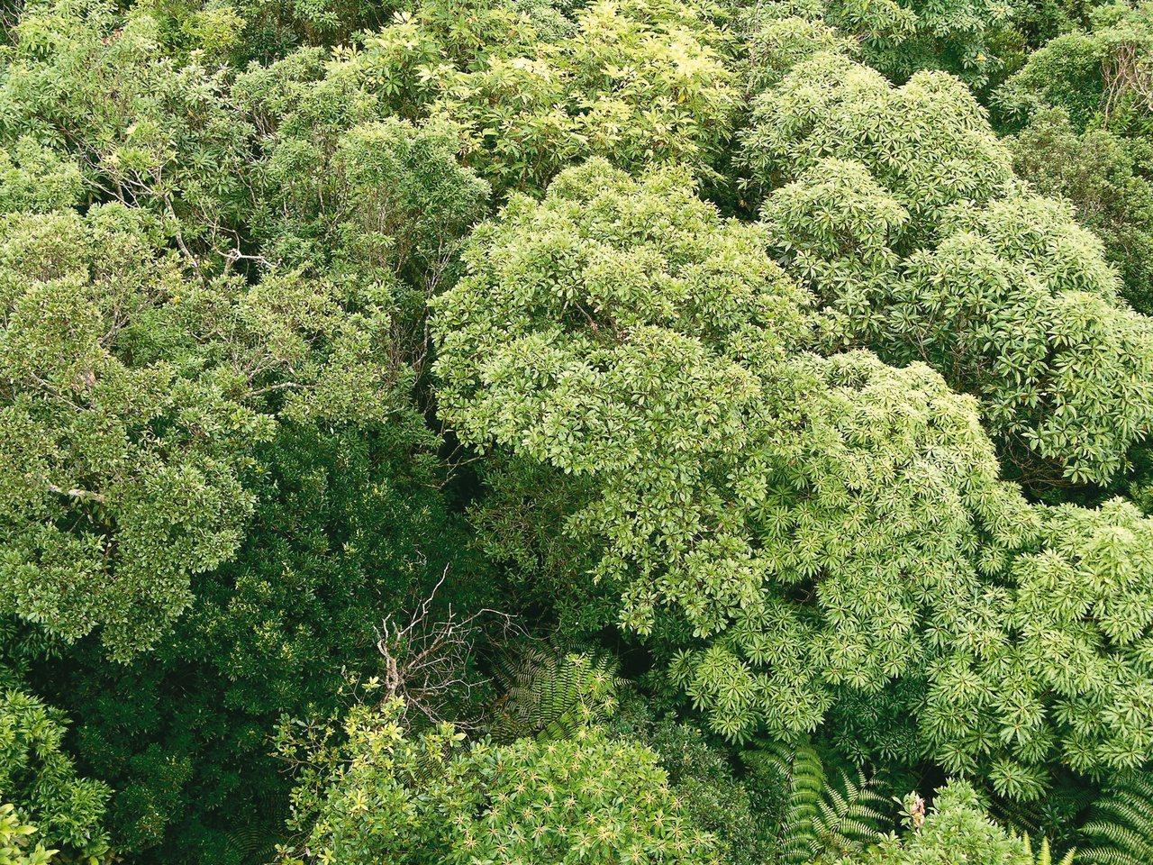 從森林高處俯瞰樹冠層的景觀。 攝影/董景生
