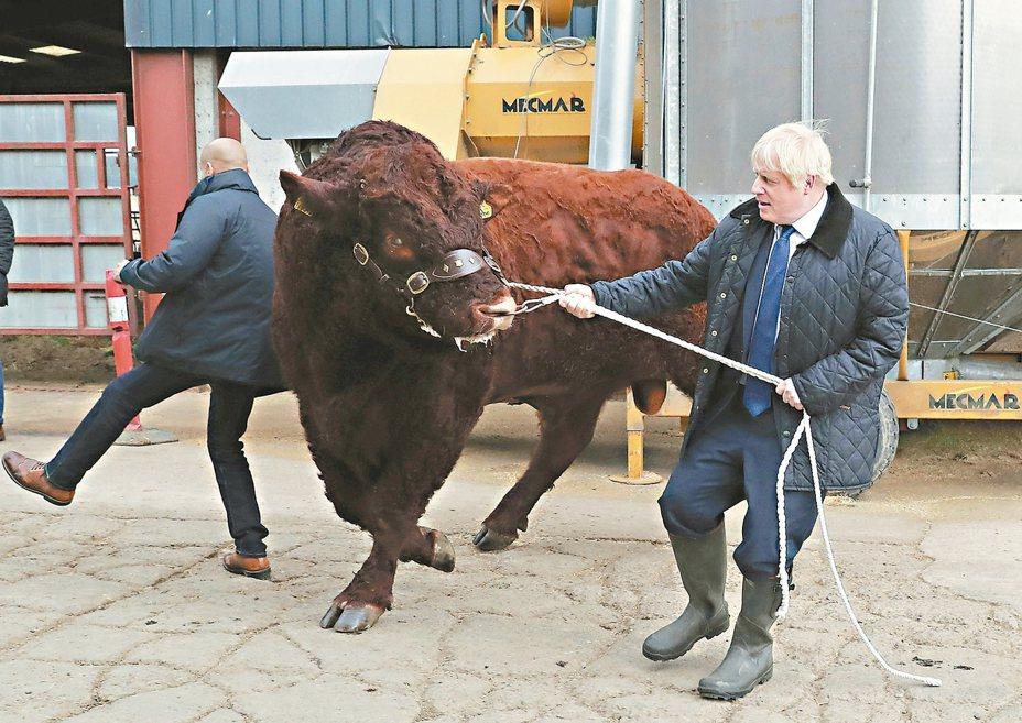 英國首相強生(右)六日到蘇格蘭宣布提撥二億英鎊振興農業,並登場馴牛,結果似乎有些吃力。 (美聯社)