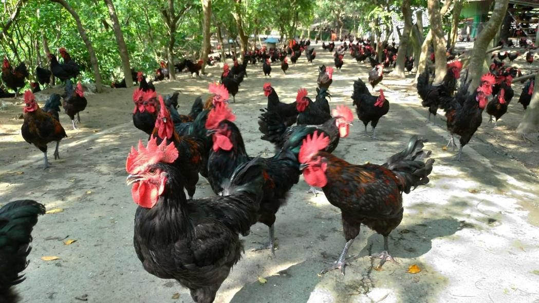 明德外役監出產的「黃金土雞」雞隻採放牧方式飼養,肉質鮮美,深受消費者喜愛。 圖/...