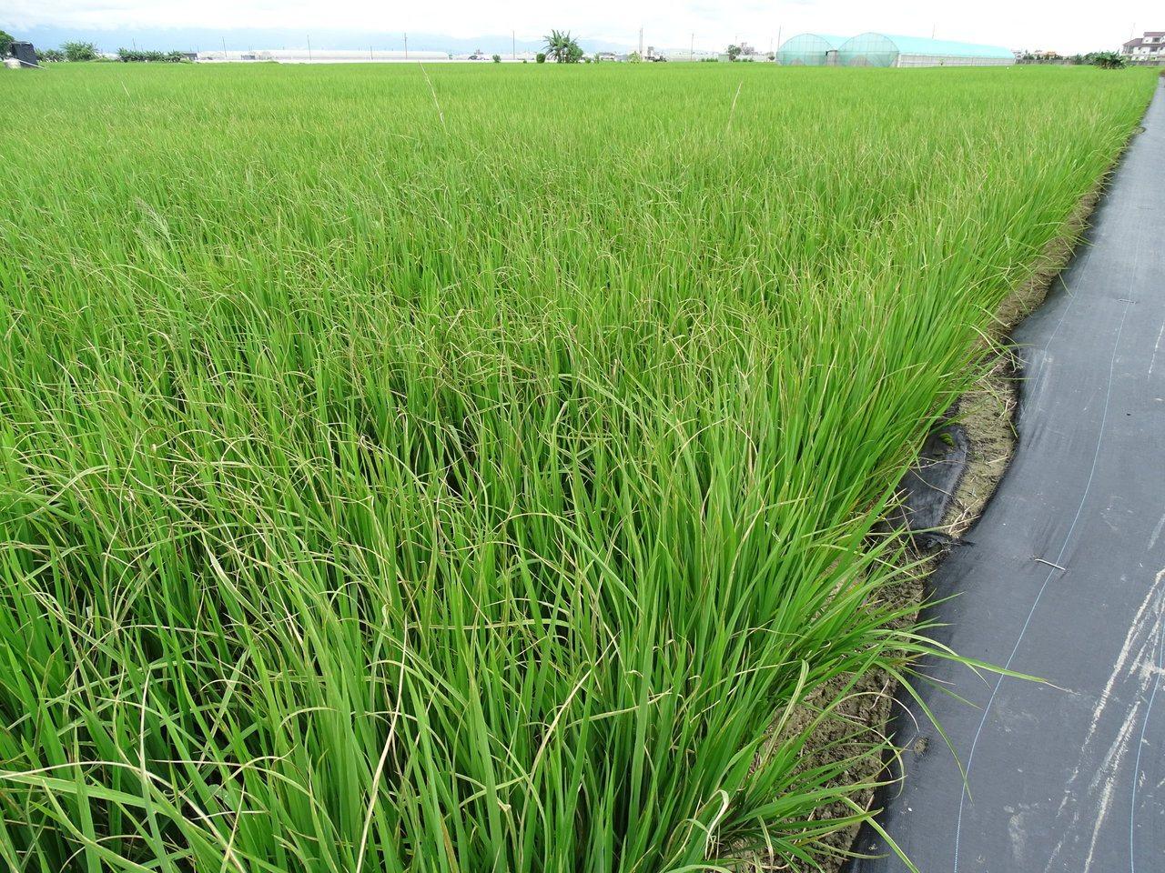 台灣水稻產區出現白葉枯病,農改場籲防治。圖/場方提供