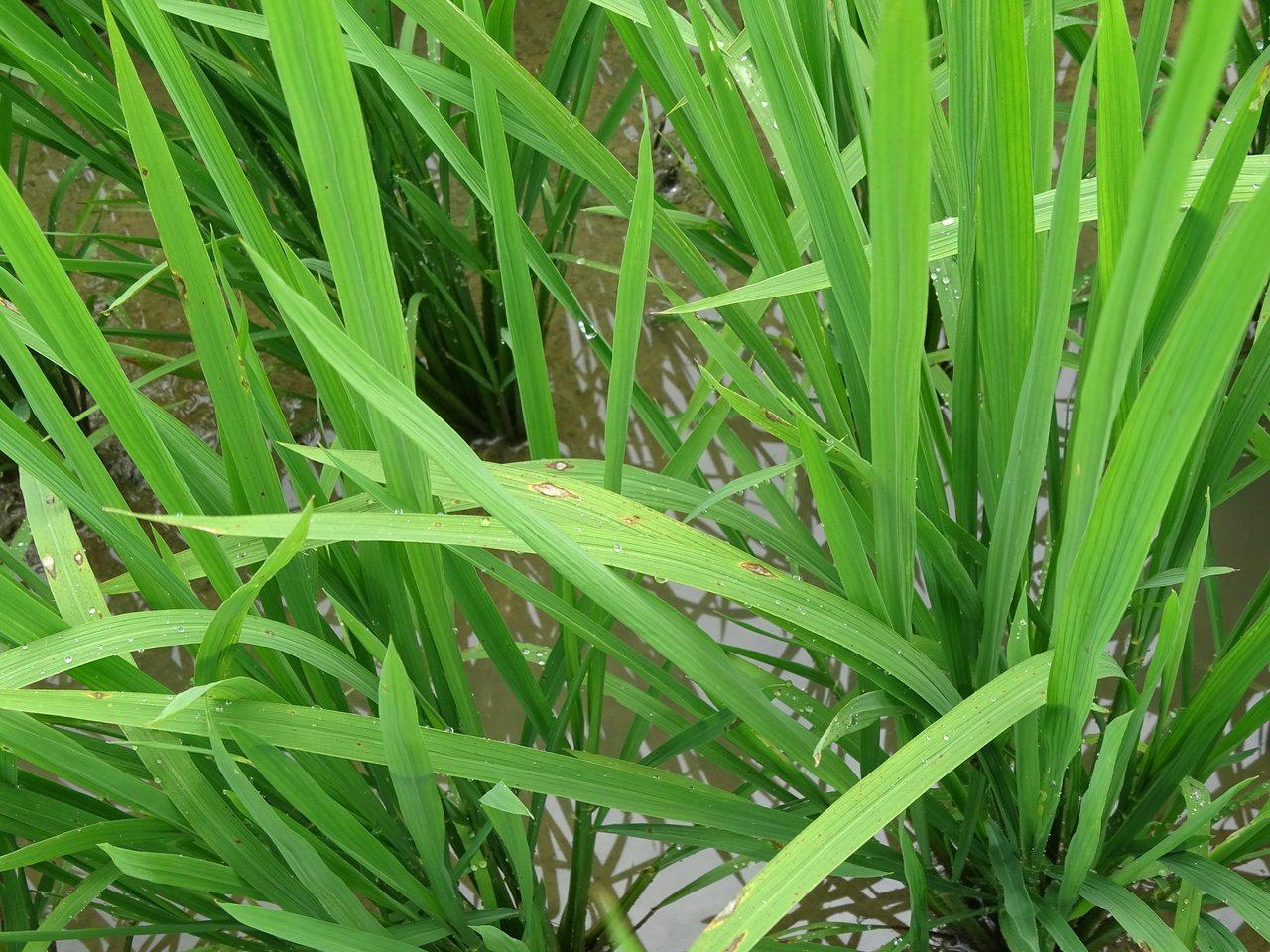 台灣水稻產區出現稻熱病,農改場籲防治。圖/場方提供
