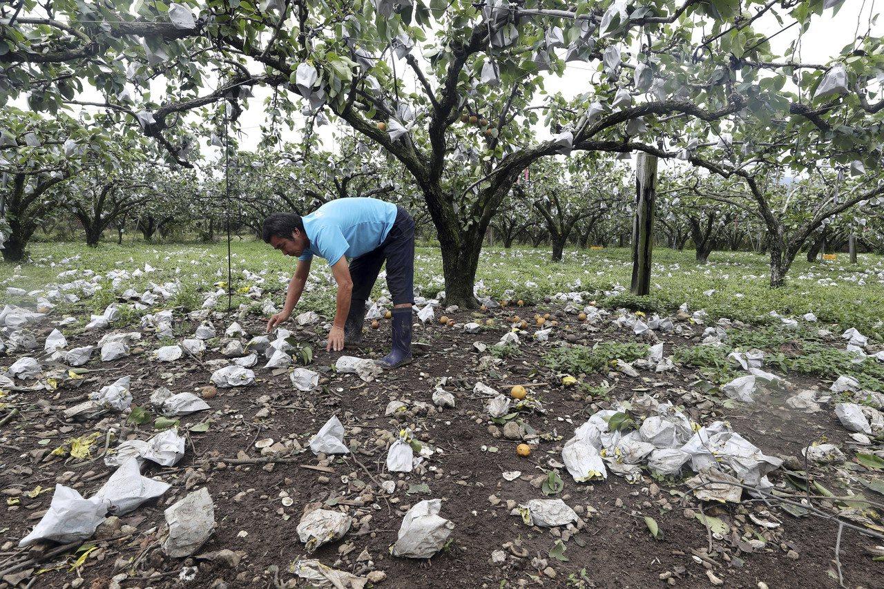 颱風玲玲重創南韓,全羅南道順天市的一名果農8日撿拾被狂風掃落的梨子。(美聯社)