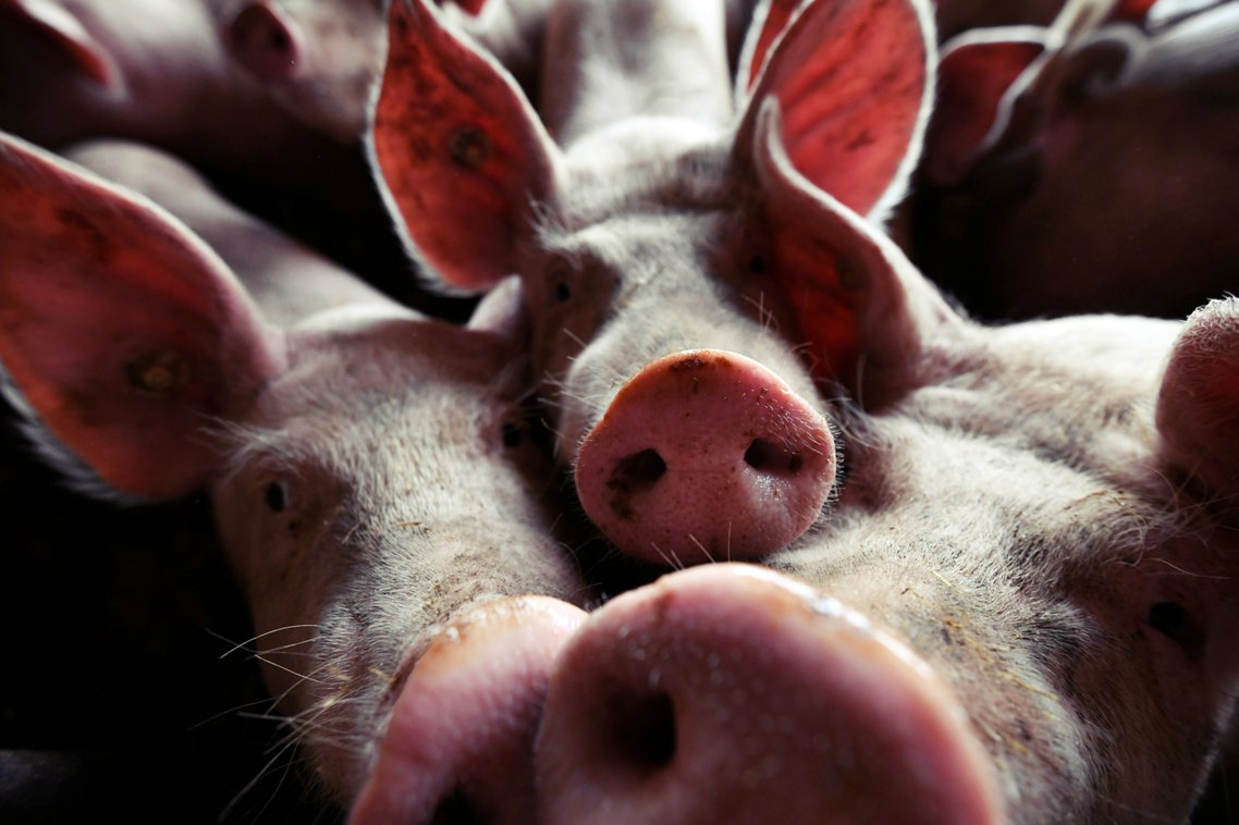 直到9月9日為止,共有 7,416 頭疫區豬隻被撲殺。 圖/法新社