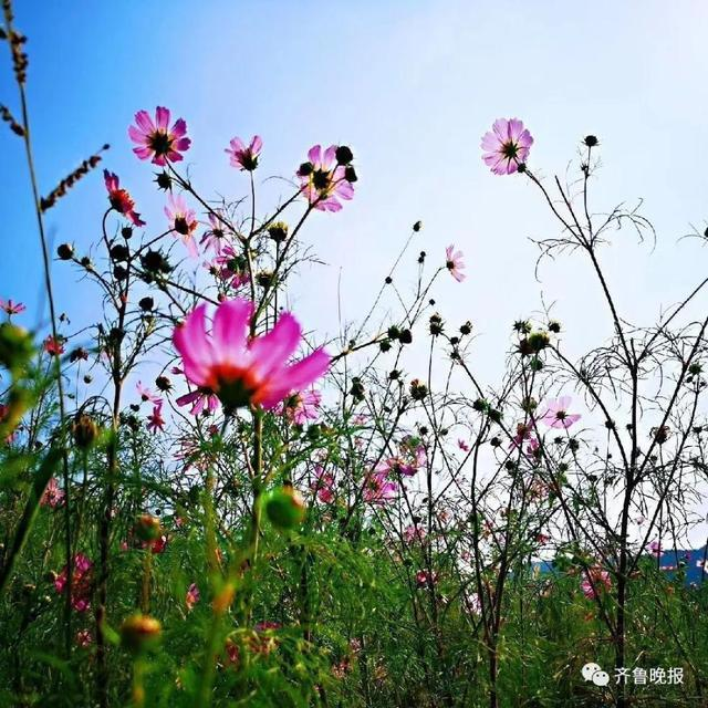 「賞格桑花海不用在到西藏」,濟南的一座土丘,最近開滿了粉紅色的格桑花,成為新晉的...
