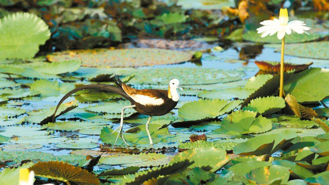 台南官田區復育水雉有成,數量占全台77%。 圖/農委會提供