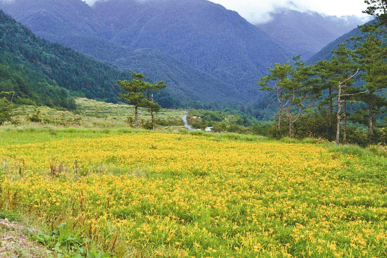 秋天前往武陵農場露營區,可見到金針花開美景。 圖/摘自武陵農場粉絲專頁
