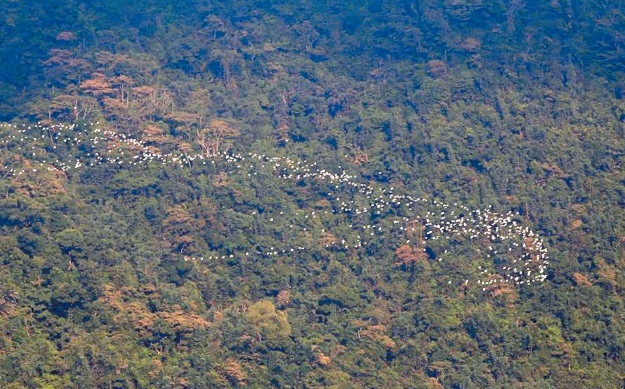梅山鄉太興村特有的「萬鷺朝鳳」,今年9月為最佳觀賞期。 圖/嘉義縣府提供