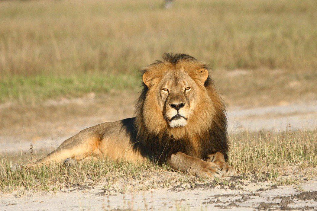 獅王Cecil。 圖/美聯社