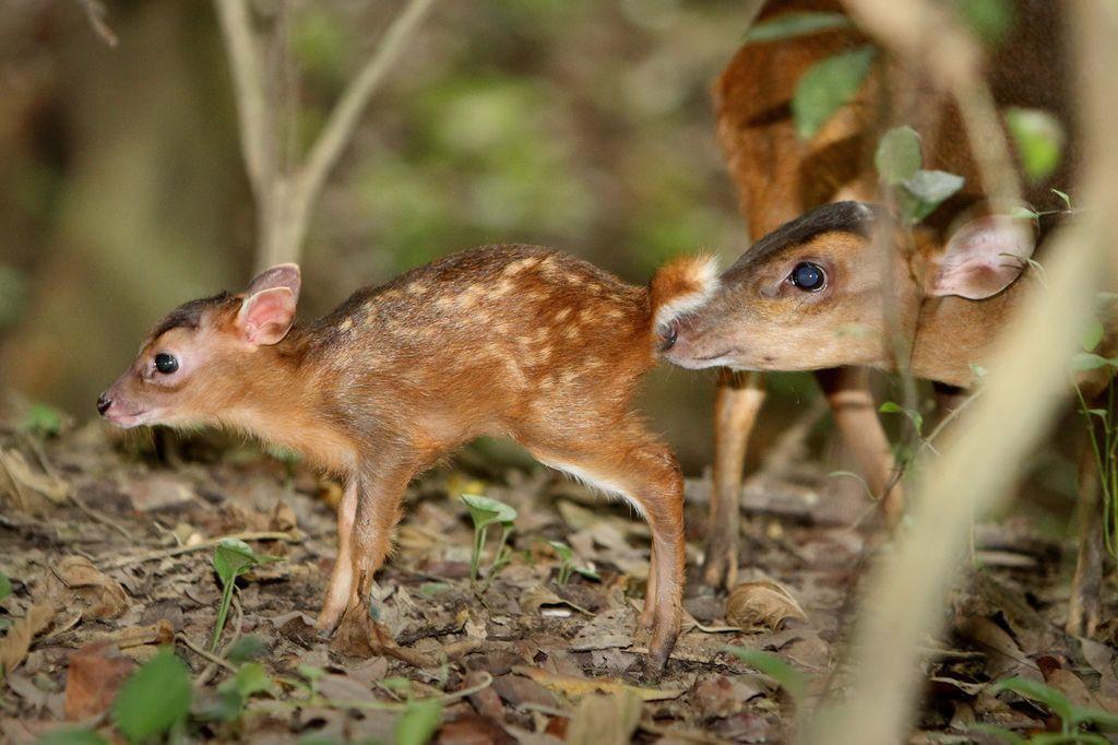 2019年1月,台灣獼猴、山羌等8種野生動物,從保育類調整為一般類。 圖/壽山國家自然公園籌備處提供