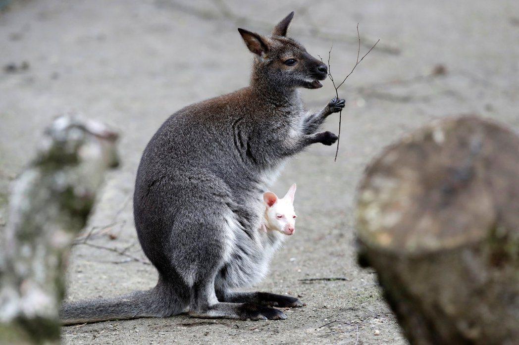 為了控制袋鼠數量,澳洲人提議吃掉牠們。 圖/路透社